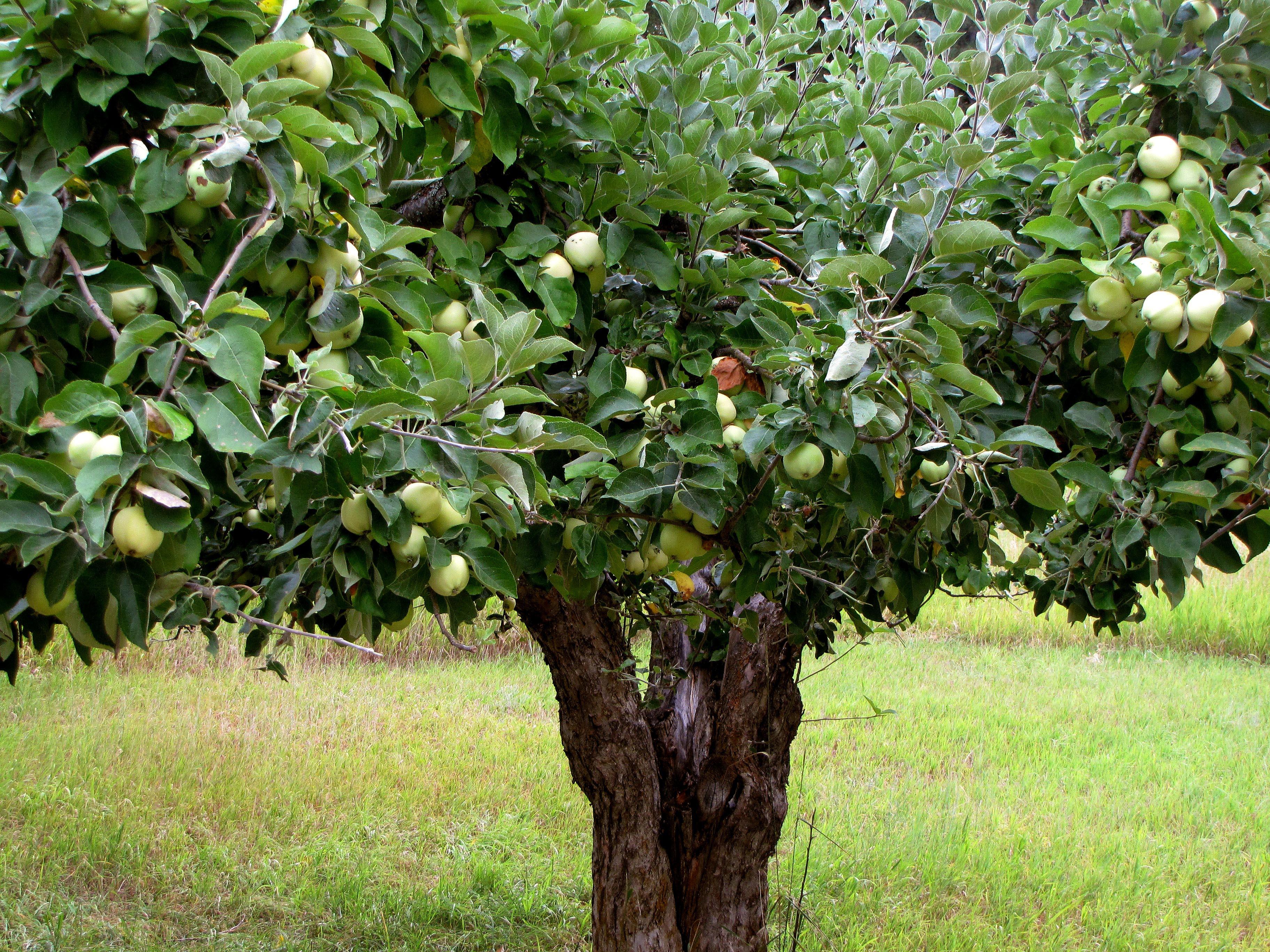 Boom Kleine Tuin : Mooie bomen voor een kleine tuin Úw hoveniers geerts