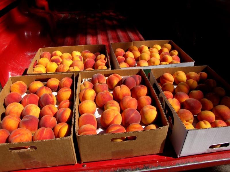 100lbs. Fairhavens Peaches