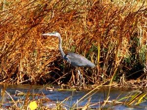 Blue Heron in North Dakota 09-28-11
