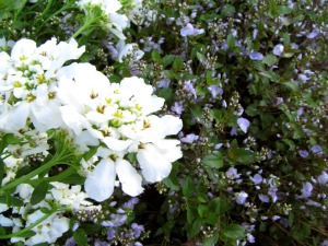 Candytuft and Veronica Waterperry