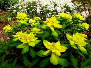 Euphorbia-Candytuft