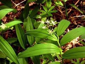 Star Flowered False Solomon Seal