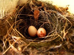 Pine Siskin eggs