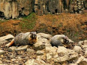 Palouse Falls Marmots