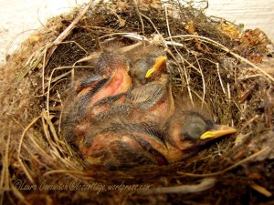 Baby Western Flycatchers 07-21-2013