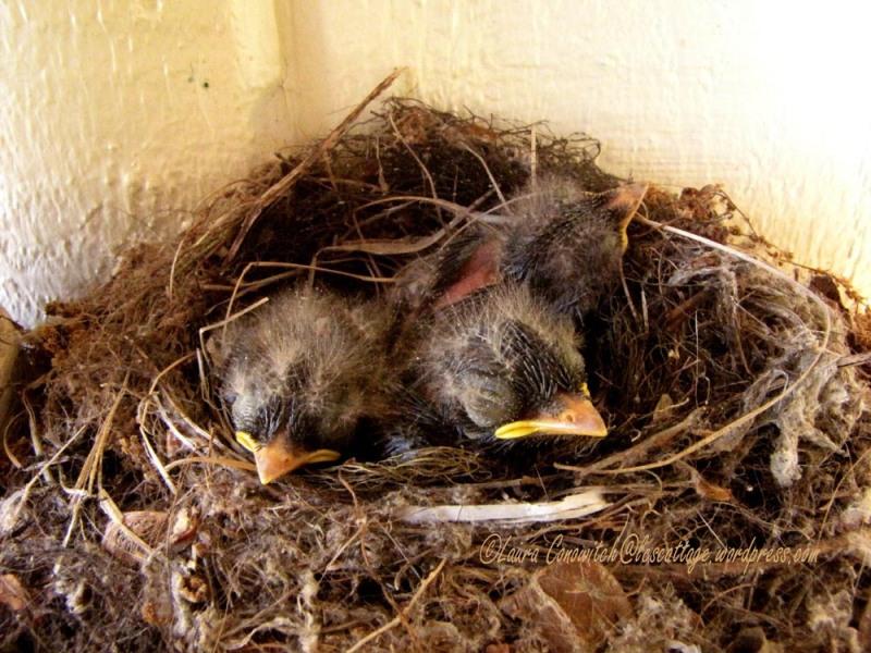 Baby Western Flycatchers 07-22-2013