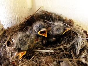 Baby Western Flycatchers 07-23-2013