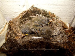 Baby Western Flycatchers 07-24-2013
