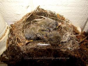 Baby Western Flycatchers 07-24-2013