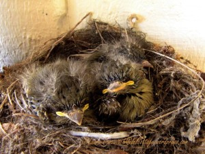 Baby Western Flycatchers 07-25-2013