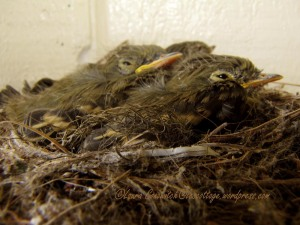 Baby Western Flycatchers 07-28-2013