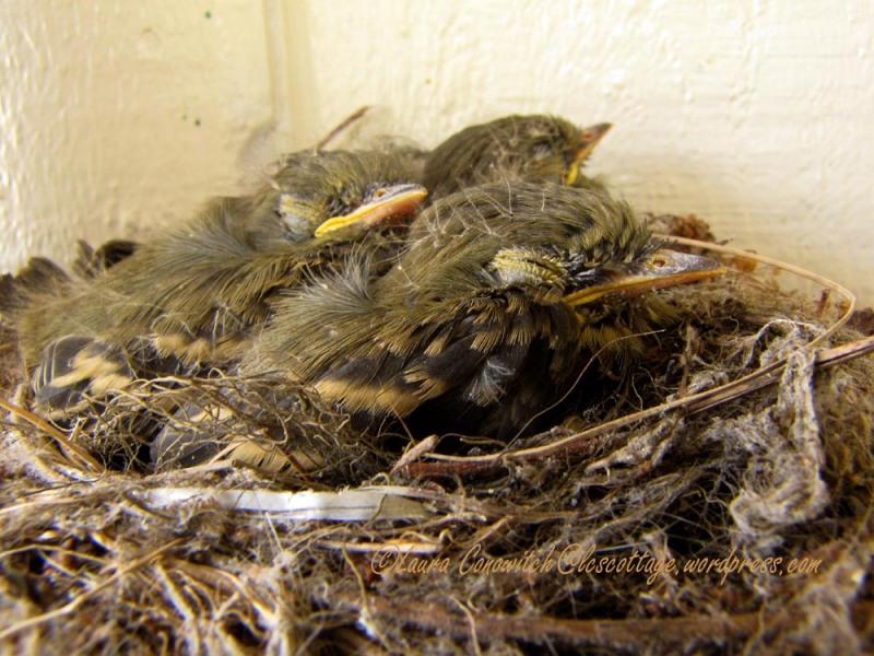 Baby Western Flycatchers 07-28-2013