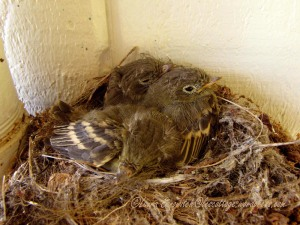 Baby Western Flycatchers 07-29-2013