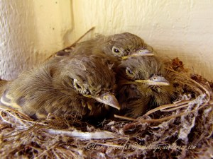 Fledgling Western Flycatchers 07-30-2013