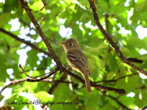 Adult Western Flycatcher 07-30-2013