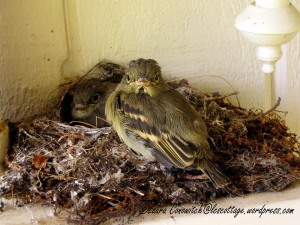 Fledgling Western Flycatchers 07-31-2013