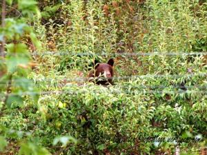 Bear in Pear Tree