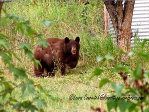 Bear Under Pear Tree