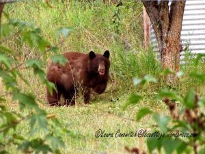Bear Under Pear Tree