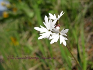 Smallflower Woodland Star