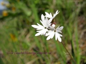 Smallflower Woodland Star