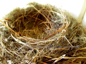 Western Flycatchers Empty Nest