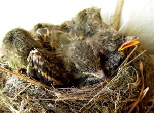 Western Flycatchers