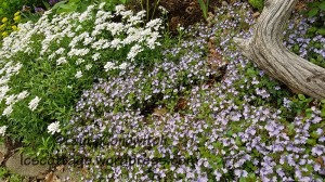 Veronica Waterperry and Candytuft