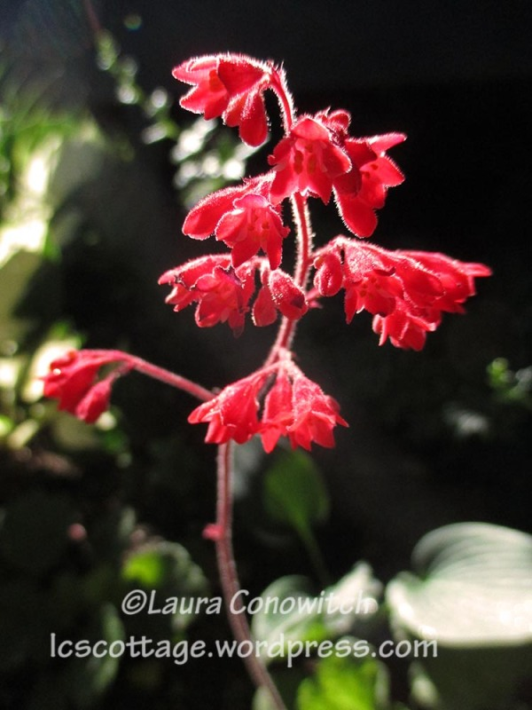 coral bell