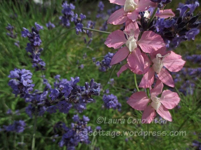 larkspur and lavender