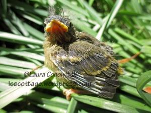 Baby Pine Siskin