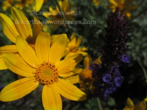 Marguerite Daisy and Salvia