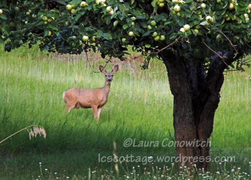 Deer and Transparent Apple