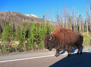 Yellowstone National Park Buffalo
