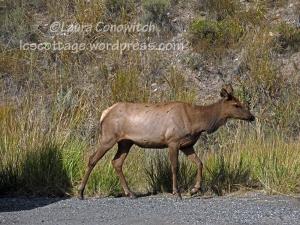 Yellowstone National Park Elk