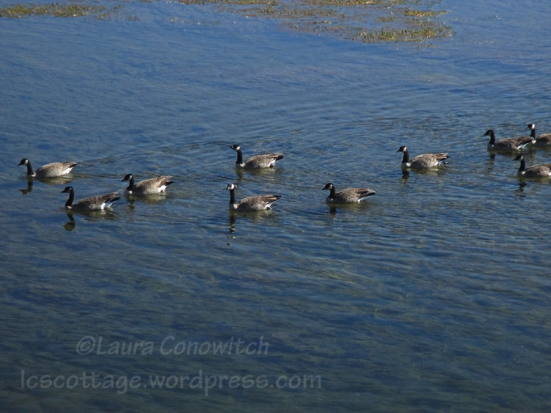 Yellowstone National Park Geese