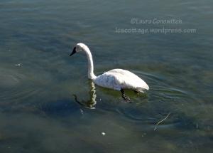 Yellowstone National Park Swan