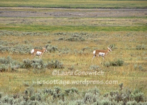 Yellowstone National Park Antelope