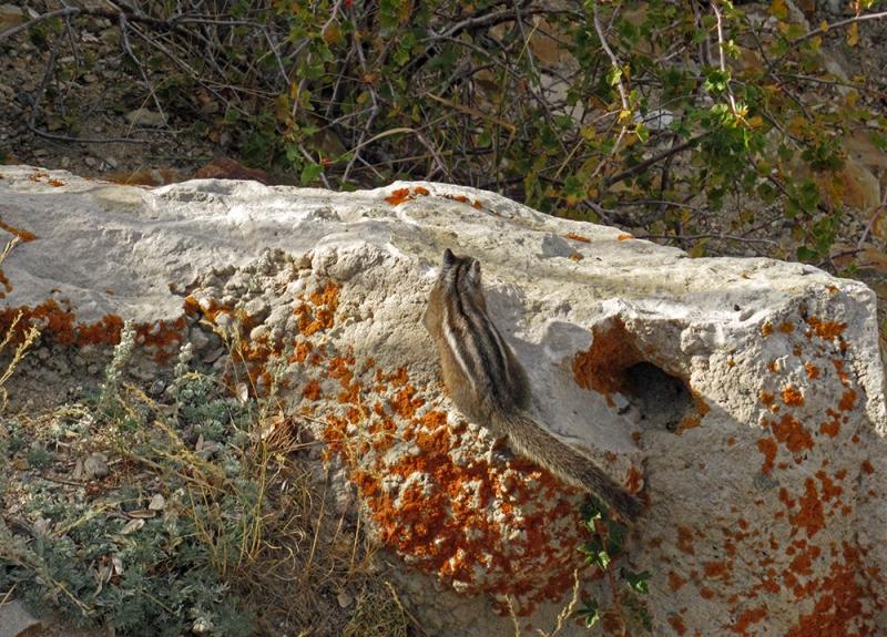 Yellowstone National Park Chipmunk