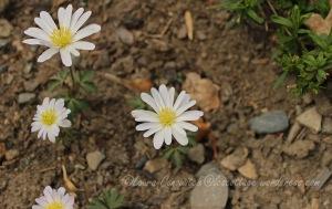 Anenome Grecian Windflower