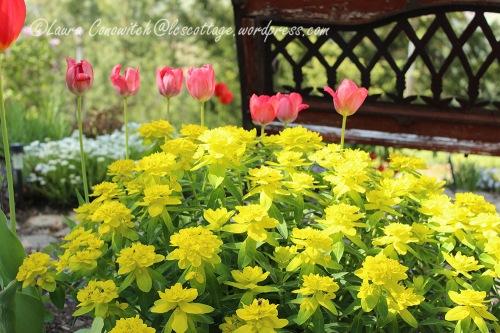 Euphorbia/Spurge