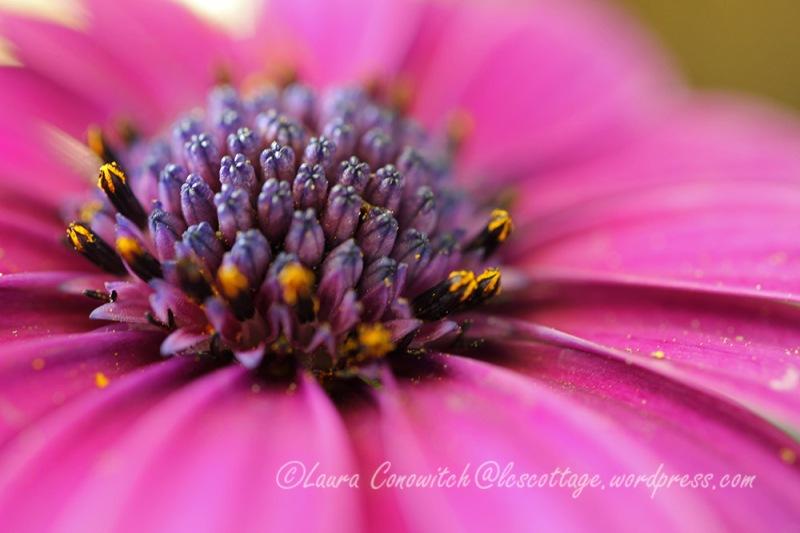 Osteospermum/African Daisy