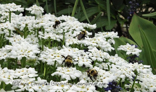 Bumble Bee and Candytuft