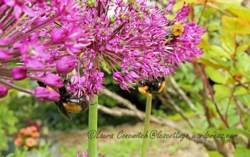 Bumble Bee and Allium