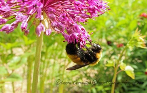 Bumble Bee and Allium