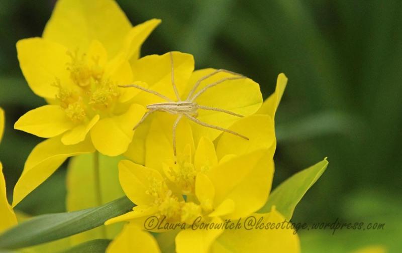 Spider on Euphorbia