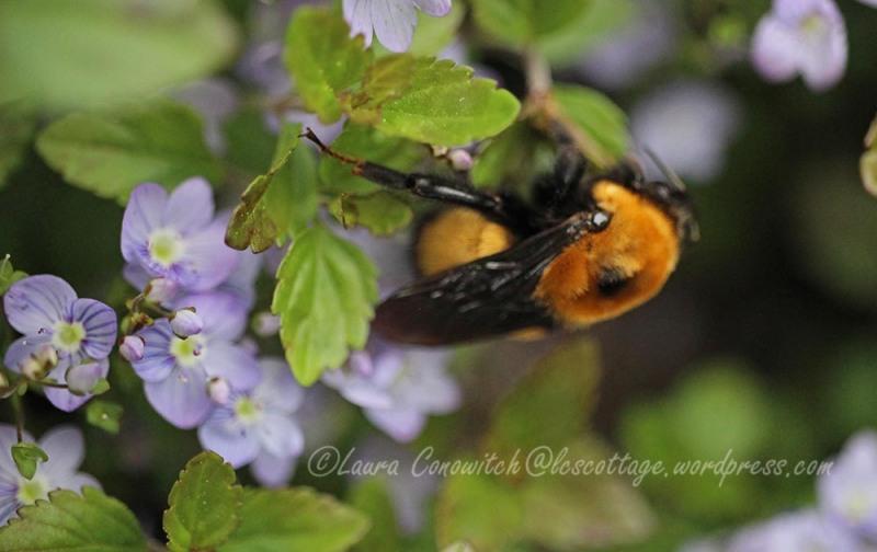 Veronica Waterperry/Bumblebee
