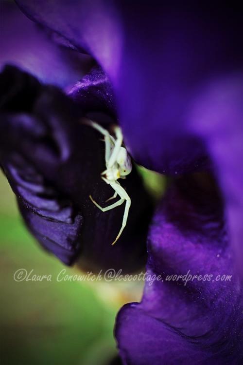 Iris and Crab Spider