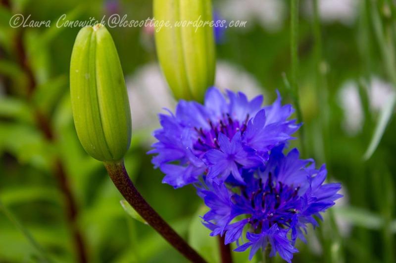 Cornflower aka Batchelor Button