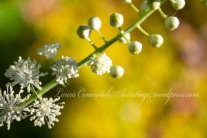 Cohosh-Racemosa Cimicifuga